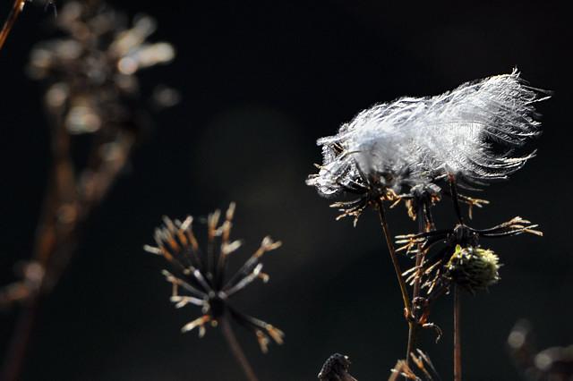 鳥の羽とセンダングサ|2010冬 ...